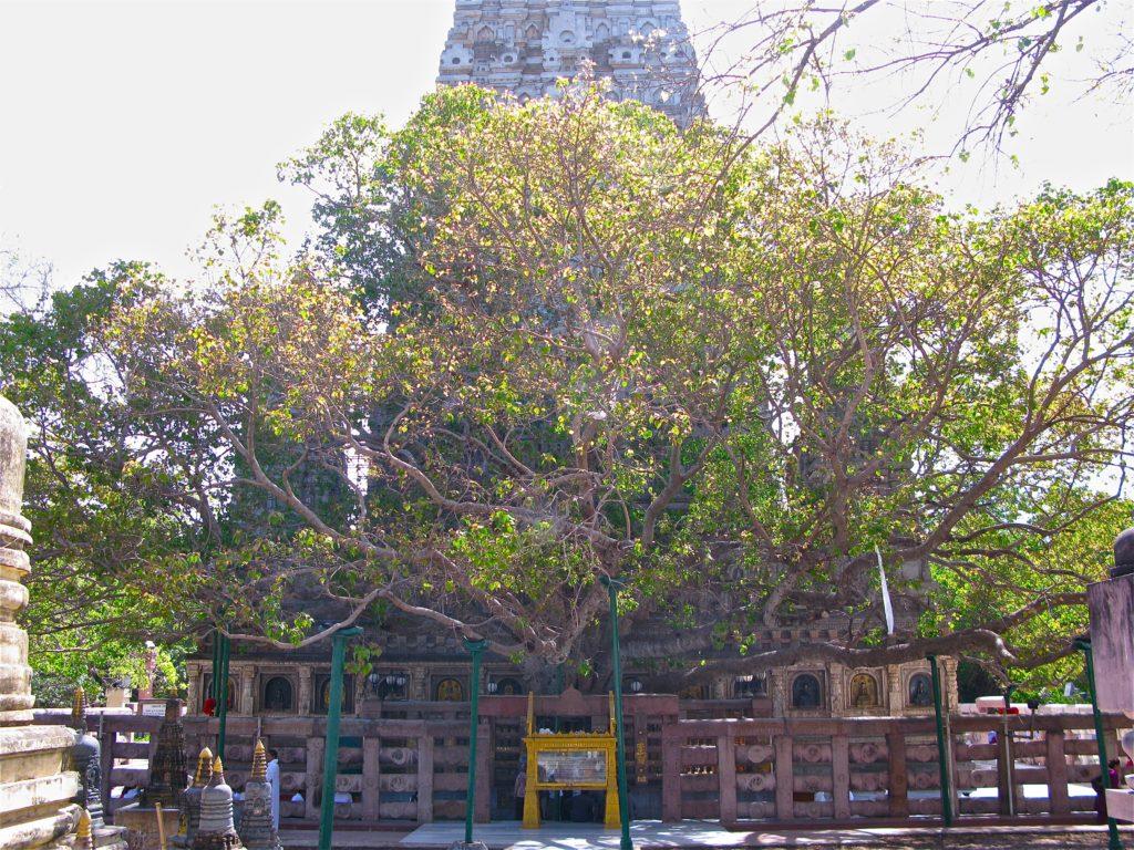 arbre bodhi