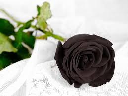 rose noir